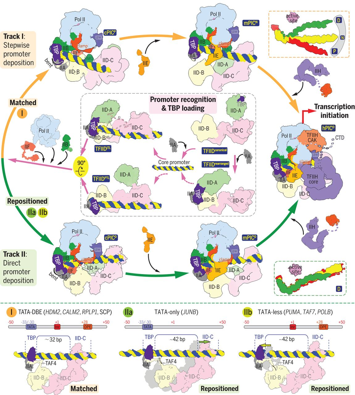 Structural insights into preinitiation complex assembly on core ...