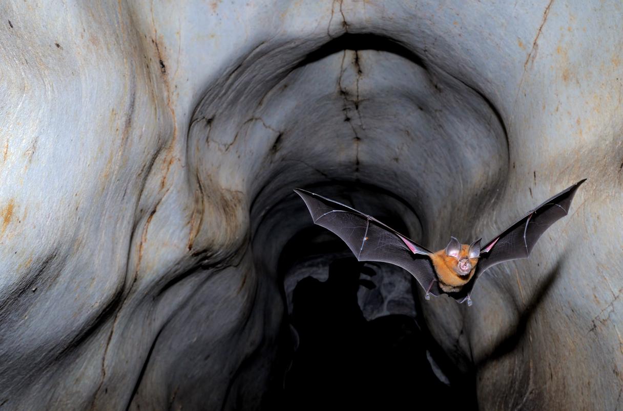 Horseshoe bat exits a cave at dusk